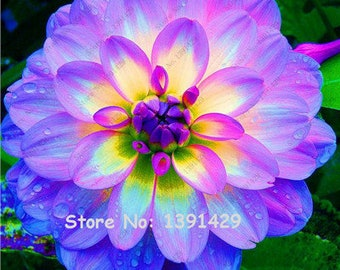 Dahlia Bulbs, (not Dahlia Seeds), Holland Dahlia Flower 3 Bulbs (item No: 22)