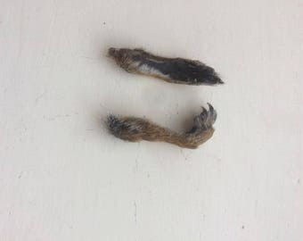 2 Dried Grey Squirrel Feet