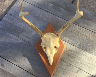 Mounted 2 point deer skull and antlers
