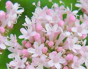 """Live Valerian Plant - (Valeriana officinalis) 4"""" flowering, Live Plant, Herb, Medicinal, Insomnia, Flowers, fragrant, deer resistant, bees"""