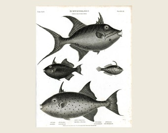 Ichthyology print etsy for Old wife fish