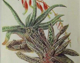 1957 cactus plants fat Hans Krainz Gasteria crab, Pulchra Aloe Vintage flower decoration wall scrapbooking succulent plant