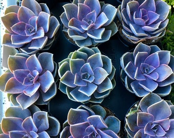 "6 pack of 3.5"" succulents"