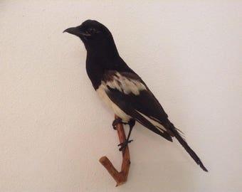 Old taxidermy pie big bird talk very good condition