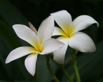 Plumeria Photography, Fine Art Floral, Flowers Photograph