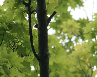 Color 5 X 7 Nature Photograph of a Shy Bird Playing Hide-And-Seek Behind a Maple Tree