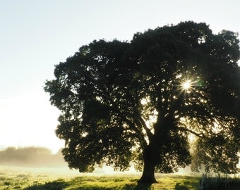 Digital Photo Download - Through the Mist - Old Mother Oak - Photography - Image File - Instant Download - Print at Home - Sunrise - Tree -