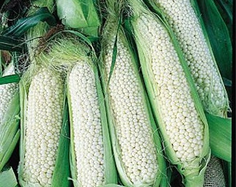 Country Gentleman Corn - 15 Seeds - Organically grown , Untreated
