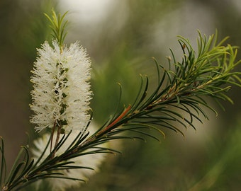 BULK Tea Tree Essential Oil |  Melaleuca Alternifolia