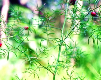 100  Seeds Asparagus racemosus ,Satavar, Shatamull