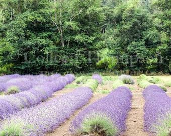 Fine Art Photograph of Lavender Fields in Sequim, Washington