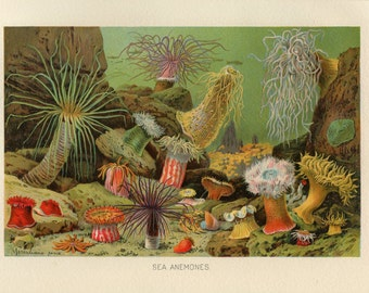 1904 Sea Anemones Digital Print Download Marine Animals