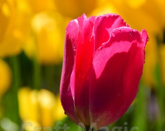 Pink Tulip on Yellow Matted Print