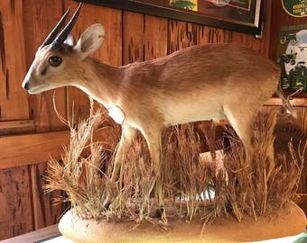 Perfect Full Mount Livingstone's Suni Antelope - Vintage African Taxidermy