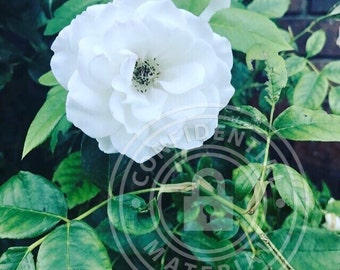 White rose by Luciana Sposaro