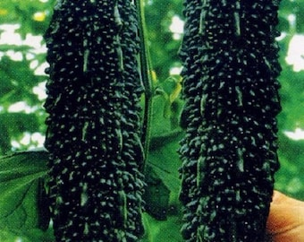 Hot 20+++ Rare black vegetable, Black pearl bitter gourd seeds organic seed FROM MY GARDEN