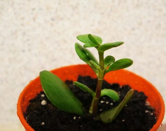 Small Jade plant - Money plant - Lucky Plant - Succulent