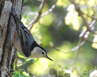 Fine Art Print, Wall Art, Nature Photography: White Breasted Nuthatch
