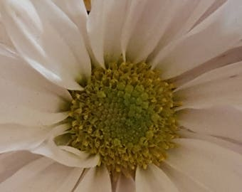 flower photo, photography, flower, daisy photo, daisy, nature, nature photo, wall art, home decor, flower art, daisy art, flower picture