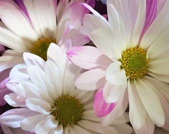 flower picture, flower photo, flower, daisy photo, daisy picture, nature, nature photo, download, digital