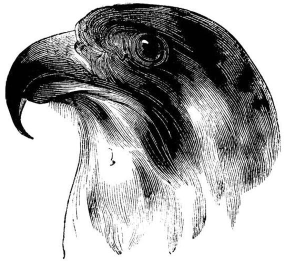 Falcon bird head digital image download png clipart bird image graphics downloads black and white art printables animal printouts