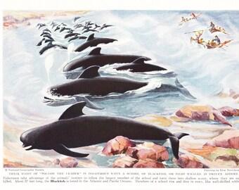 1940s Pilot Whale Print -  Vintage Antique Animal Zoology Ocean Sea Home Decor Book Plate Art Illustration for Framing