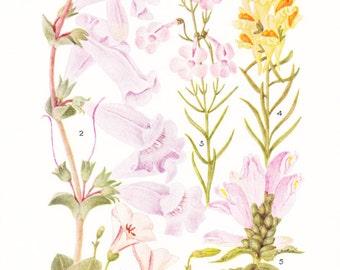 1930s Flower Print - Pentstemon Bell Flowers - Vintage Home Decor Botany Art Illustration for Nature Science Woman Great for Framing