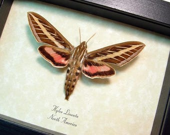 Real Framed Hyles Lineata The White-Lined Sphinx Moth 784