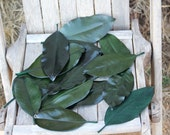 125 Magnolia leaves preserved green - Gift wrapping-Party Favors-Wedding invitations
