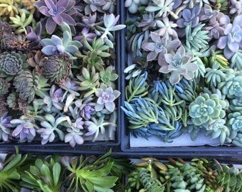 100 Succulent Cuttings,Succulent Wedding Favors, Centerpieces, Bouquets, Wreaths, Flat Panel Living Walls