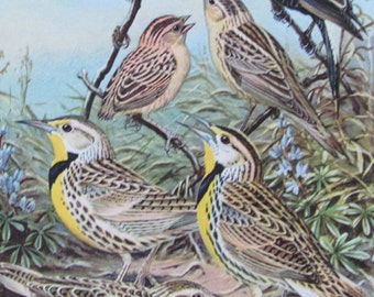 Bobolink, Meadowlarks, 1968 Vintage Book Plate, Book Page, Bird Print, North American Species