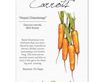 Carrot Seeds, Royal Chantenay (Daucus carota) Non-GMO Seeds by Seed Needs
