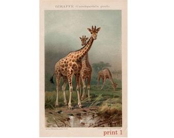 1903 GIRAFFE LITHOGRAPH - original antique print - african safari animal art - giraffe family - camelopardalis giraffa