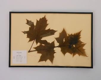 Vintage 1968 botanical specimen by Maine arborist - Sugar Maple/Rock Maple