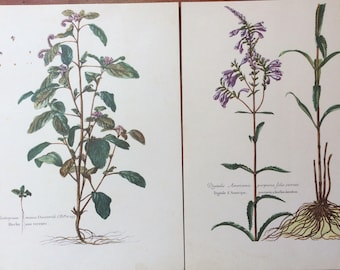 Pair of Vintage French Botanical Prints