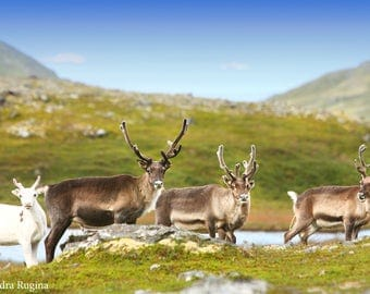 Digital file collection, reindeer in the far North of Norway, with mountain landscape in the background, wildlife photography reindeer