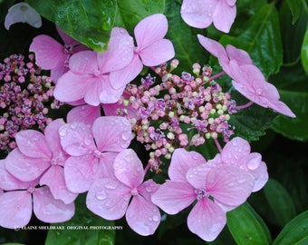 Raindrops On Pink Hydrangea - Instant Digital Download Fine Art Photograph CU