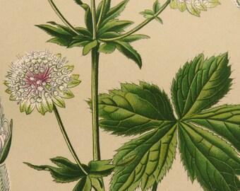1900 Antique print of a GREAT MASTERWORT PLANT. Astrantia major. Garden plants. Ornamental plants. Poisonous Plant. 117 years old lithograph