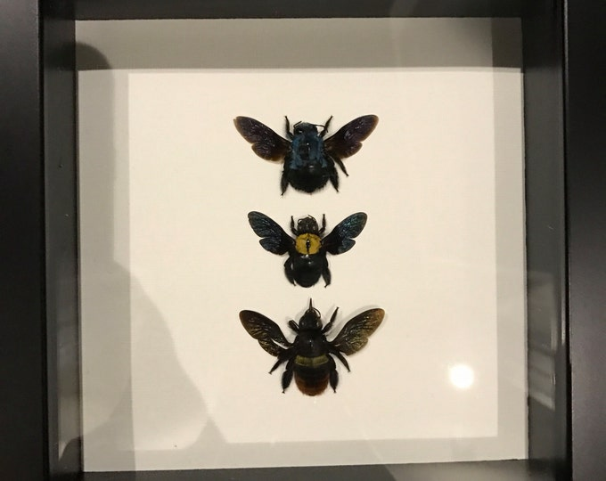 Real carpenter bee collection taxidermy display!