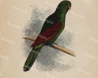 The Crimson Wing Parrot Hand colored print original Art decorative art home decor wall art natural history Rare
