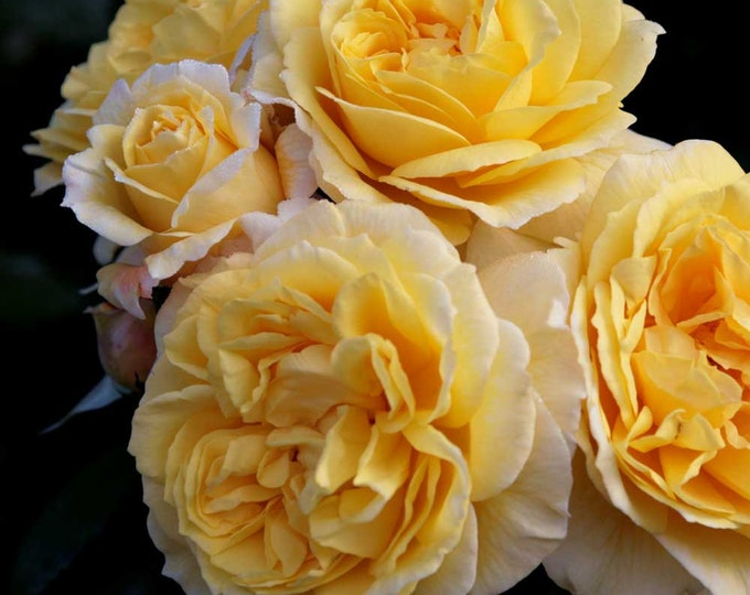 Lone Star ™ Rose Bush Rose Grown Organic In 5 Inch Deep Root Pot - Own Root Non-GMO Yellow Flowers - Spring Shipping