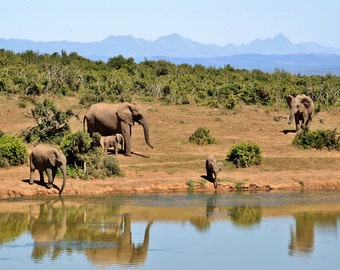 Herd of Elephants in the African Bush. Photographic Wildlife Print/Poster. (003991)