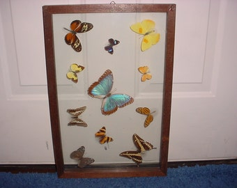 Antique Butterfly Collection Under Glass Preserved Specimens Gorgeous Vintage