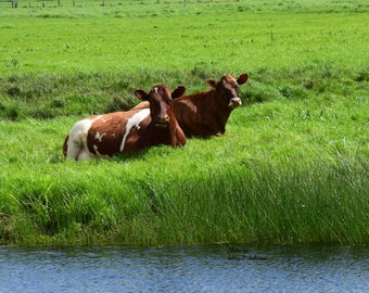 Two brown cows on a bed of green, Brown cows, Green pastor, Green gress, Blue water, Sunny day