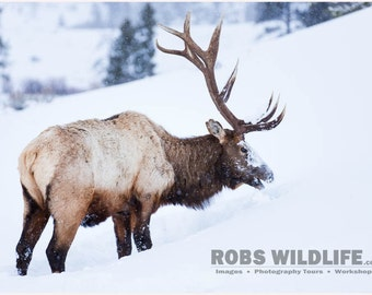 Bull Elk, Elk Photography Print, Elk Art, Elk Wall Art, Antlers, Antler Rack, Elk in Snow, Yellowstone Winter, Mammal, Rob's Wildlife