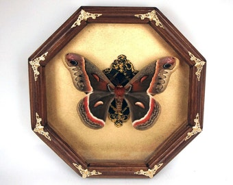 Entomology frame real butterfly Hyalophora cecropia  / Cecropia moth / insect taxidermy bugs framed insects moth home decor bug
