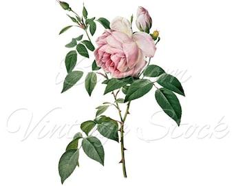 Redoute Rose Illustration, Rose Print, Wall Art, Home Decor, Pink Rose, Vintage Rose INSTANT DOWNLOAD - 2456