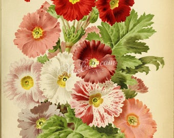 flowers-28703 - primula sinensis erecta Chinese Primrose digital download vintage printable picture image botanical illustration print jpg