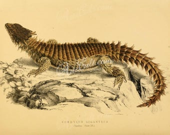 reptiles_and_amphibias-00778 - cordylus giganteus, Giant girdled lizard, sungazer, giant dragon lizard or giant zonure vintage print image