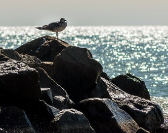 Seagull photo. Fine Art Nature Photography. Photograph Print 8x12 or 12x18 Wall Art Home Decor. Canvas and Paper Print.